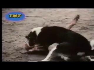 Собачьи бои Знаменитый бой легендарный сао акгуш и легендарный кв барбос сердюкова