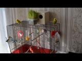 Мои волнистые попугаи
