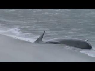 100 дельфинов-самоубийц выбросились на берег в Новой Зеландии