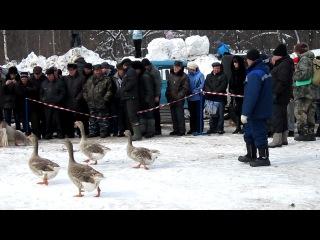 Гусиные бои в городе Павлово-на-Оке