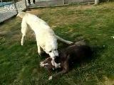 собачьи бои стаффорд против алабая