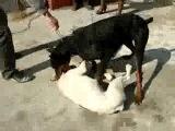 Собачьи бои бульдог vs доберман