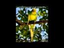 «хвилясті папуги» под музыку Бикини - -Никуда не денешься, влюбишься и женишься...не отстану я... От меня ты прячешься, только т