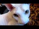 Говорящий Свинкс.Самое милое видео кошек.