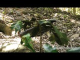 Great Argus Pheasant Harass The Mouse Deer
