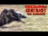 Обезьяны сбегают верхом на кабане (видео)