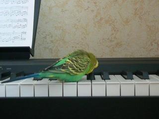Попугай подпевает и танцует.