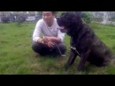 собачьи бои корсо ротвейлер часть 2