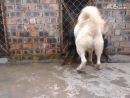 собачьи бои ротвейлер волкодав