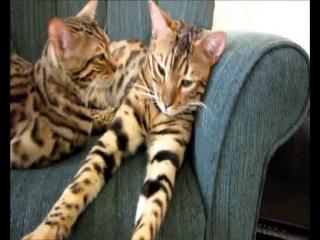 Порода кошек.Ашера.Проект.