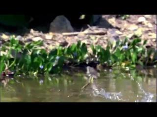 Необыкновенная ящерица, которая бегает по воде