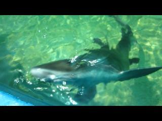 Ручные акулы просто прелессть