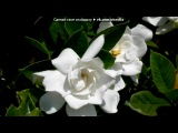 «Гардении» под музыку Поль Мариа - Прогноз погоды. Picrolla