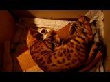Бенгальская кошка - Ashera BENGAL`S ISLAND -