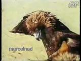 собачьи бои охота на волков беркутами