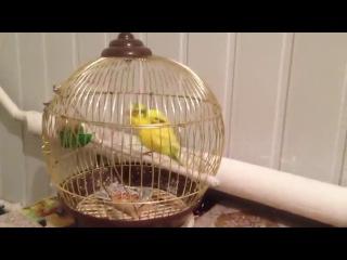 и уже попугай танцует ВОТ ТАК!!!!!!!