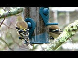 Alberto Grollo &amp Rino Capitanata. Close Meditation. American Goldfinches