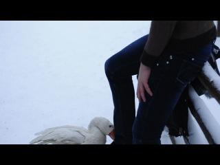 нападение гуся на лося