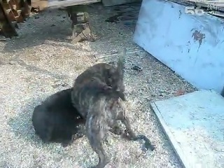 собачьи бои канне корсо против пресса канарио