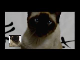 сиамский кот певец