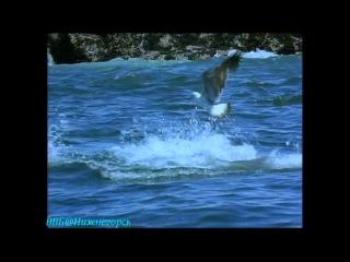 BBC «Жизнь животных: Плотоядные - Большая белая акула» (Документальный, 1999)