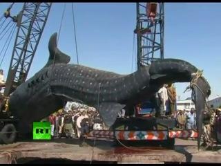 Поймана гигантская китовая акула Шок_(360p).flv
