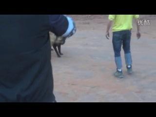 собачьи бои канарский дог VS кане корсо