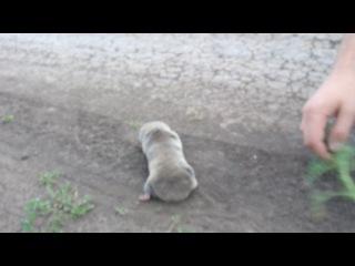 Слепыш. Животное которое занесено в красную книгу, видели в Жигулевском заповеднике.