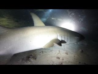 Усатые акулы-няньки