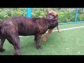 Собачьи бои тоса ину vs канарский дог