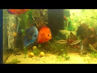 очередной нерес в общем аквариуме