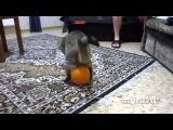 Кот, котик, шар, прикол, смешно, угар, до слёз, ахахаха :)