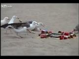 чайки vs слабительное (Рекомендую XXX)