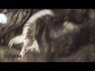 Акробатика ирбиса