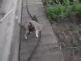А ну быстро домой! Неси домой её. Собака несёт на себе кошку. Пьяный кот :D