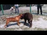собачьи бои питбуль - небольшой тест кабана
