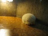 Ежик - альбинос. Сочи. Нижняя часть дендрария. Экзотариум