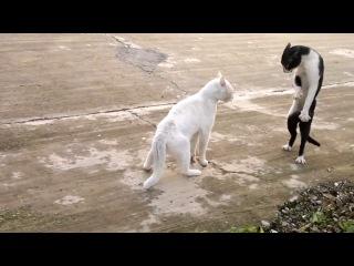 Смешные коты) Прикол. Весёлая драка, кот встал на задние лапы