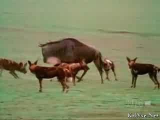 Антилопа гну спасает своё чадо от гиеновых собак