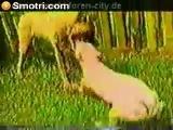 Dogo Argentino Vs Kangal
