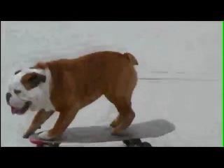 Феноменальная собака на скейте