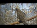 Попугай нимфа-корелла поет