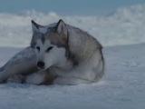 Белый Плен. про любовь и преданность собак.