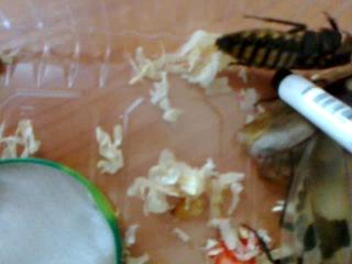 Таракан мертвая голова (Blaberus craniifer)- Мадагаскарский таракан (Gromphadorhina portentosa) - Blaberus Сranifer (Blaberus F