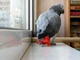 Попугай поет песню Ани Лорак.