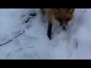 Лиса и сникерс / Fox and Snickers