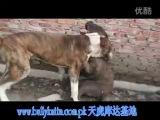собачьи бои булли кутта VS бэндог (редкие кадры)