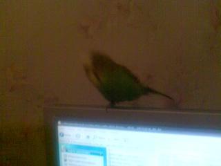 Мой бывший попугай Проша танцует на компе