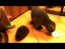 Кіт грається з їжаком)