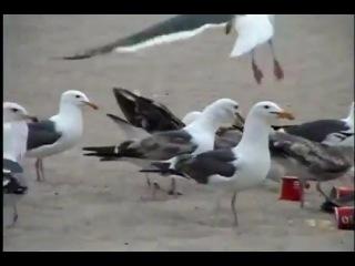 Seagulls on laxatives